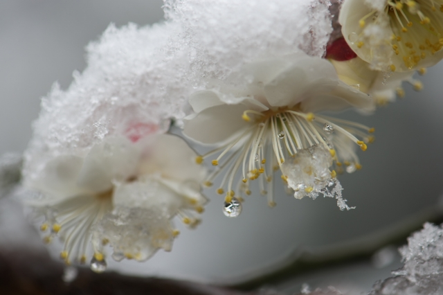 雪と白加賀-2