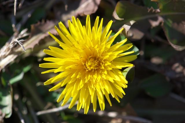 地面に張り付いて咲くタンポポ