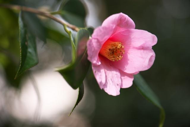 ピンクのツバキ-1