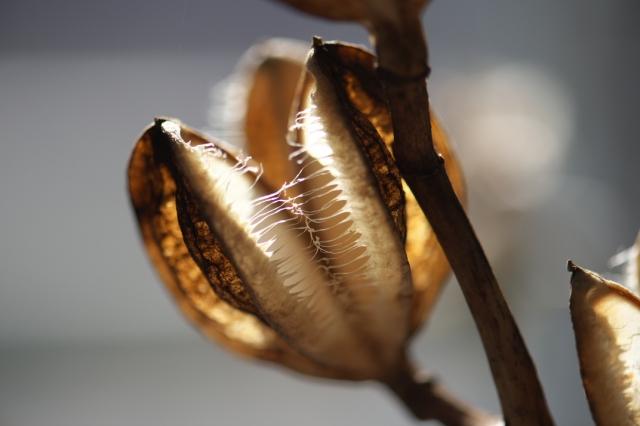 ウバユリの種鞘-2