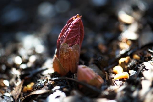 ヤマシャクヤクの芽吹き-1