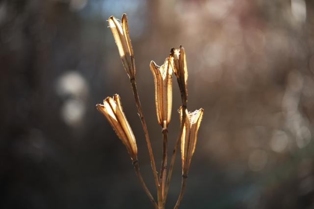 山百合の種鞘-1