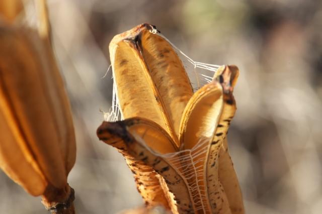 山百合の種鞘-3