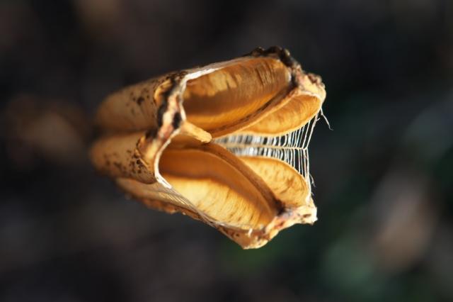 山百合の種鞘-4