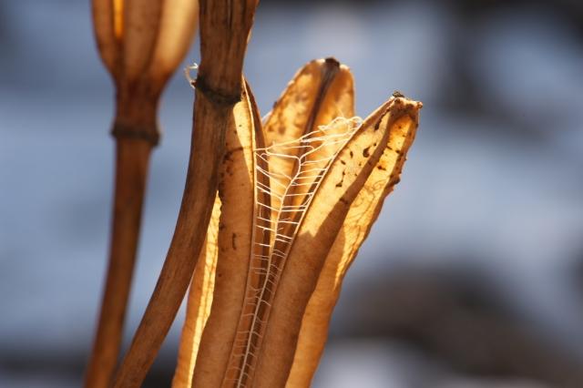 山百合の種鞘-2