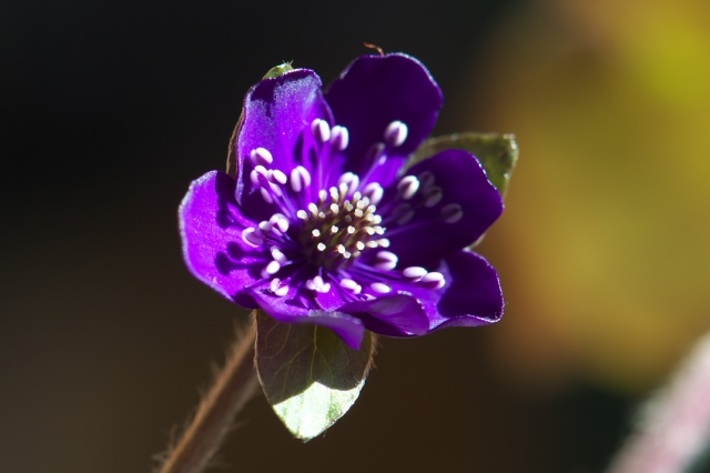 雪割草-紫