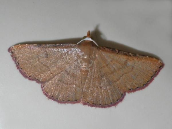 ツマベニシマコヤガ