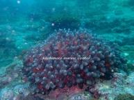 ショウガサンゴ (1)