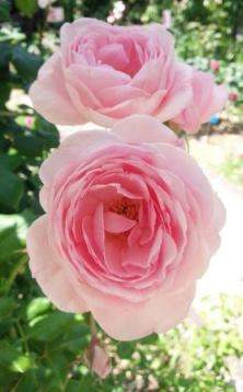 rose15813fc2.jpg
