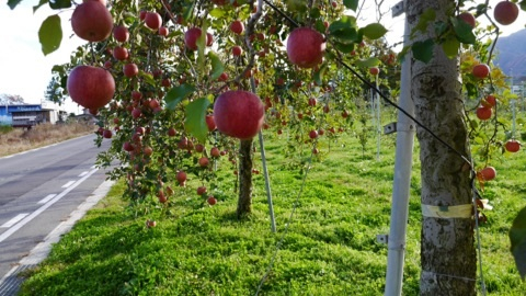 安曇野のりんご畑.jpg