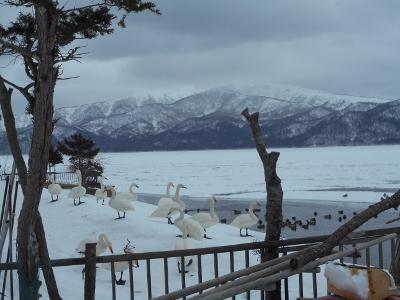 白鳥、水上派と陸上派
