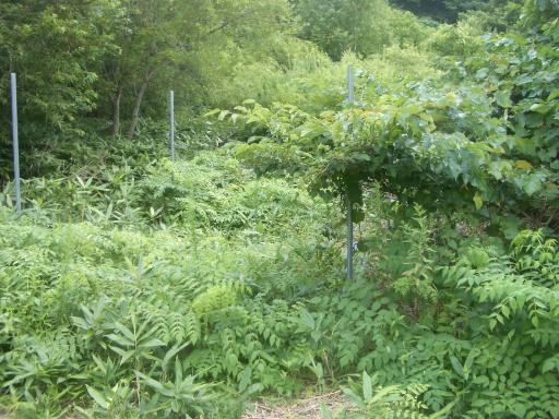 タラの木畑