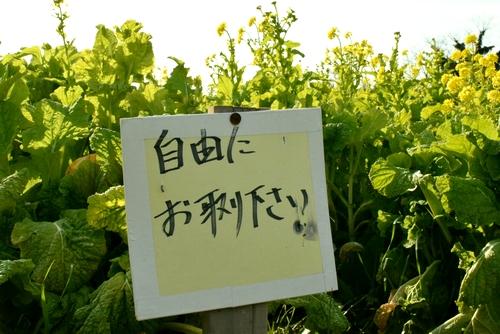 270109 菜の花8