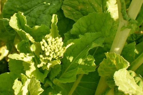 270109 菜の花10