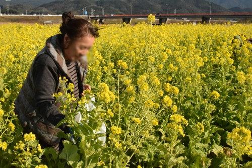 270109 菜の花9