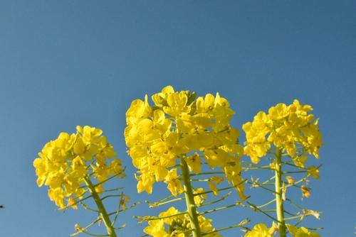 270109 菜の花19