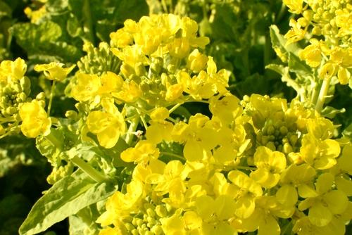 270109 菜の花23