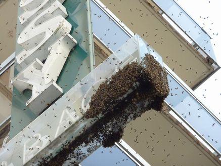 ミツバチ分蜂-1