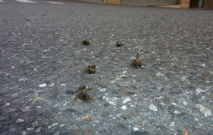 ミツバチ分蜂-3