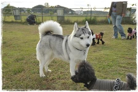 大型犬グレーハスキー
