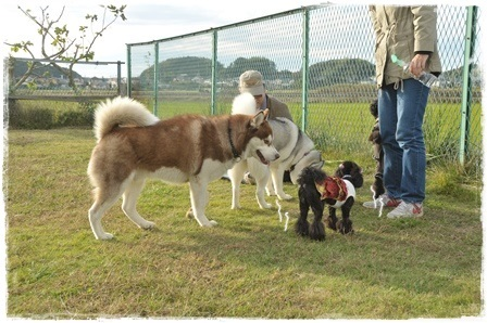 大型犬茶色ハスキー&リアン