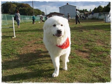 大型犬ピレネー