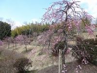 於大公園の梅