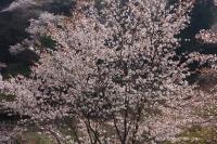 BL180402吉野山3-1IMGP1870