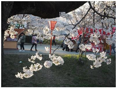 大和高田の桜1