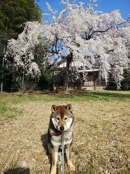 コロと廃校と枝垂れ桜と