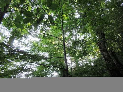#MG_0382 シオジの林