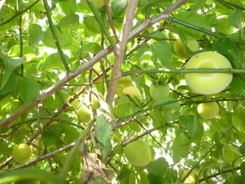 今年の梅は(2)