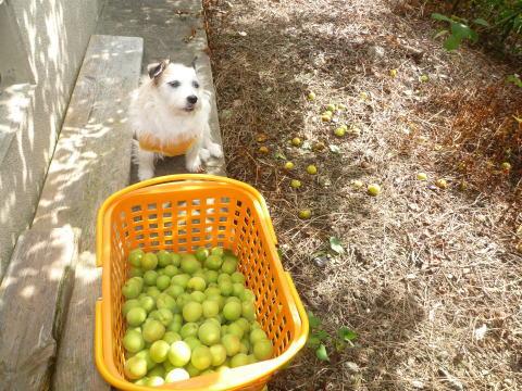 今年の梅は(3)