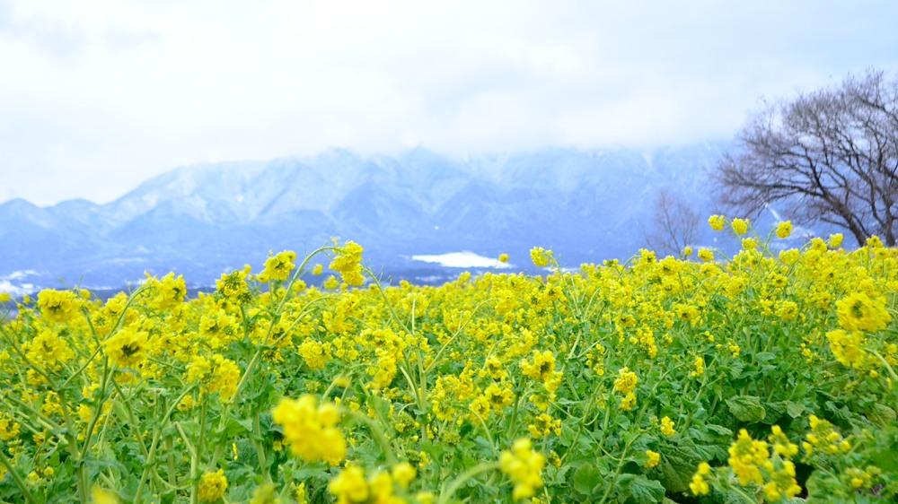 _寒咲き花菜 DSC_0017