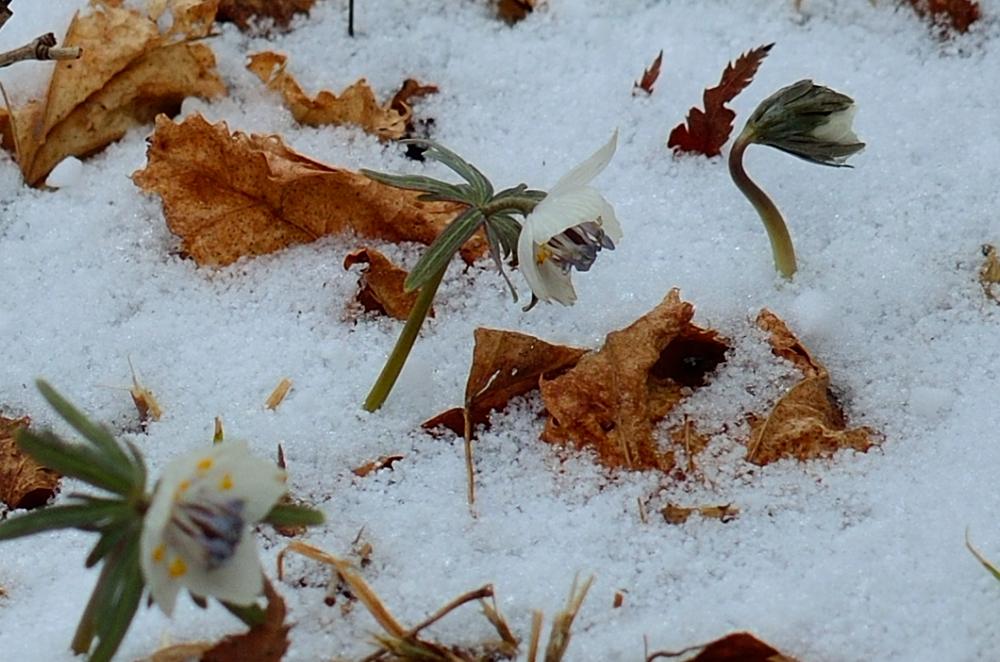 _節分草と雪DSC_0185