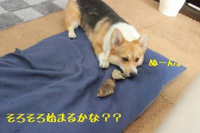 タヌキさんハイ、始まるか?