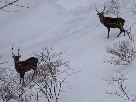 牡鹿たち1