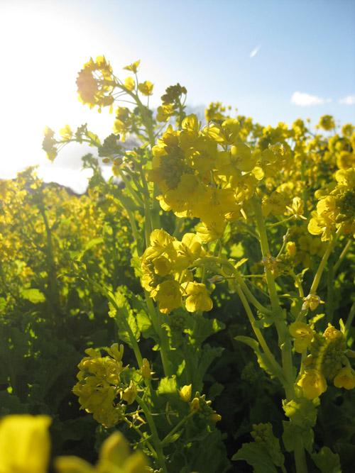 菜の花09