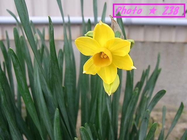 黄色の水仙①