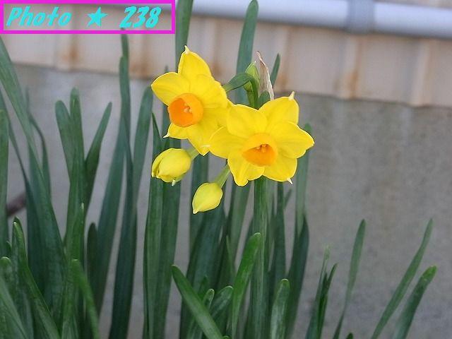 黄色の水仙も開花