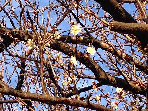 梅咲いてる