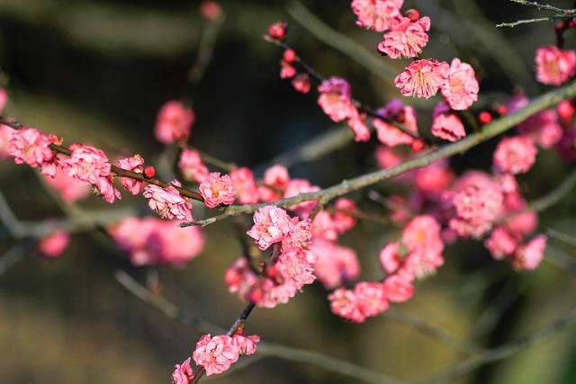 淀江町 伯耆古代の丘公園 ロウバイ 蝋梅 紅梅