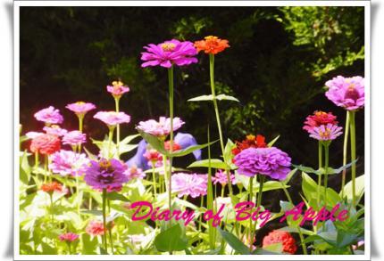 庭に咲くジニア