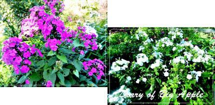 庭のフロックス