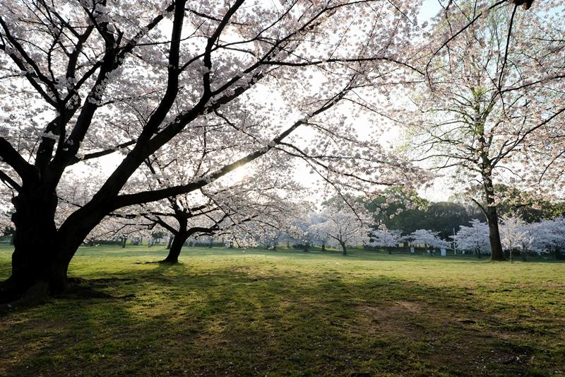 桜0180329