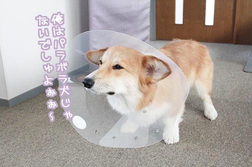 パラボラ犬