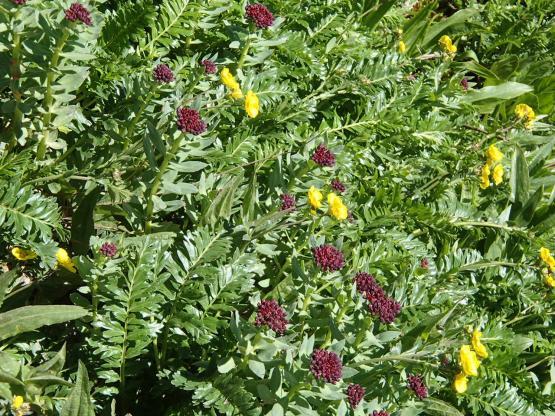 様々な高山植物