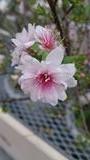 沖縄の桜2・11_R