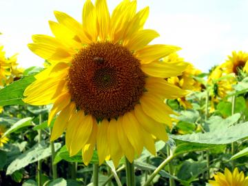 soubetu-sunflower+026_convert_20150816173828.jpg