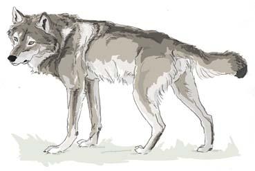 狼グルリ4